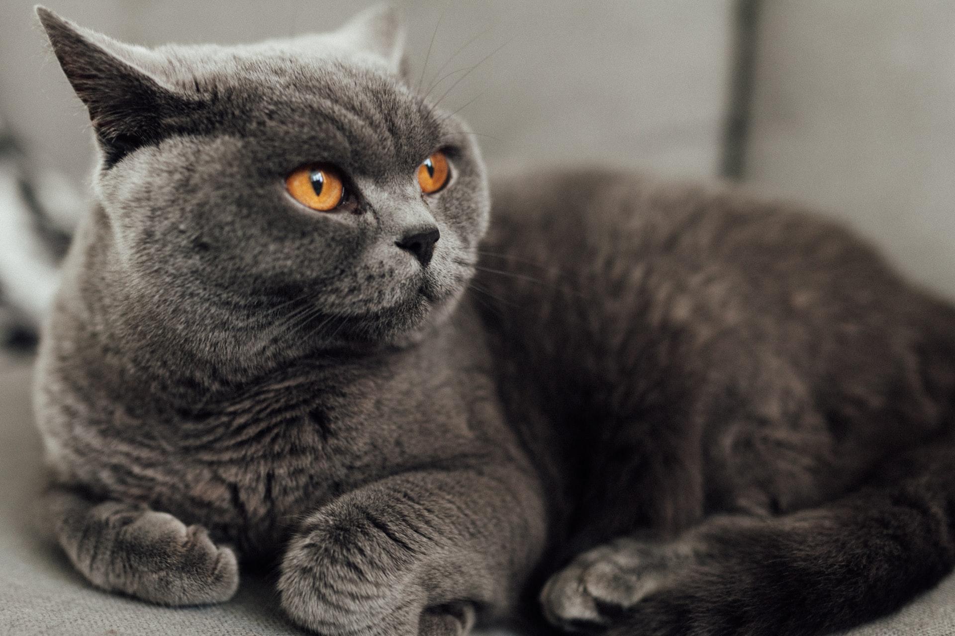 British Shorthair Cat Breed Health