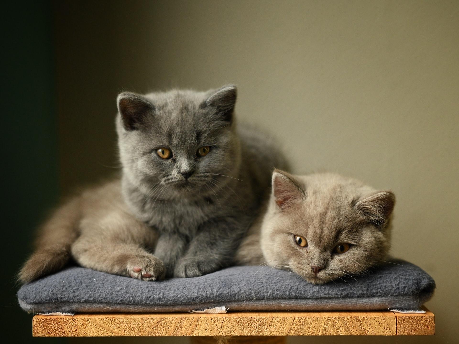 British Shorthair Cat Breed