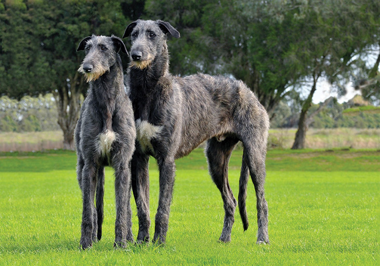 Deerhound dog breed image