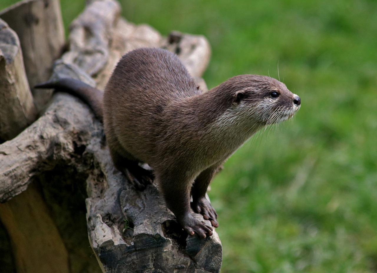Dwarf otters Pet