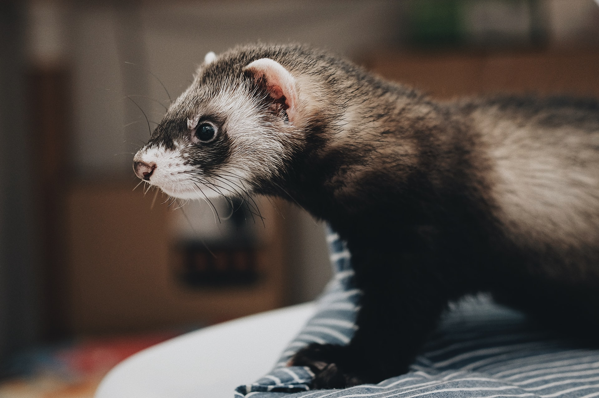 Ferret - Before you buy