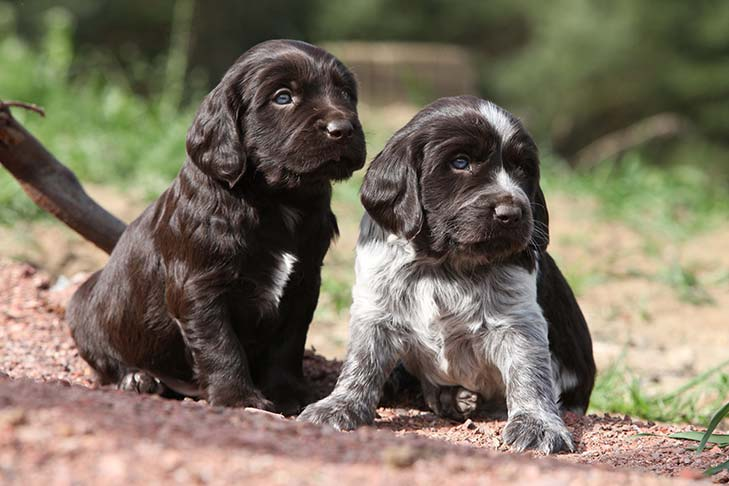 German Wachtelhund Dog Breed Images