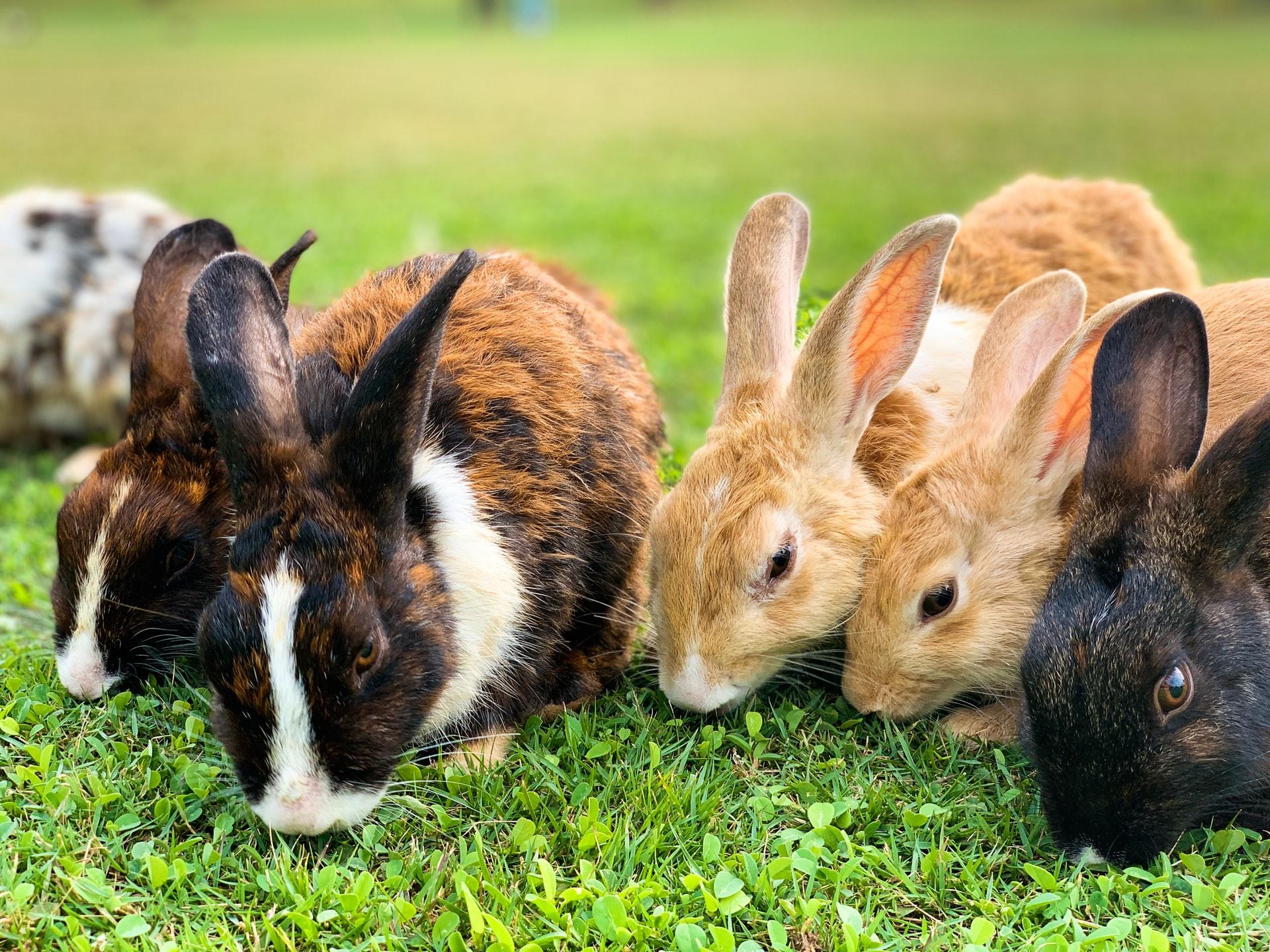 Hazards to rabbits in the wild