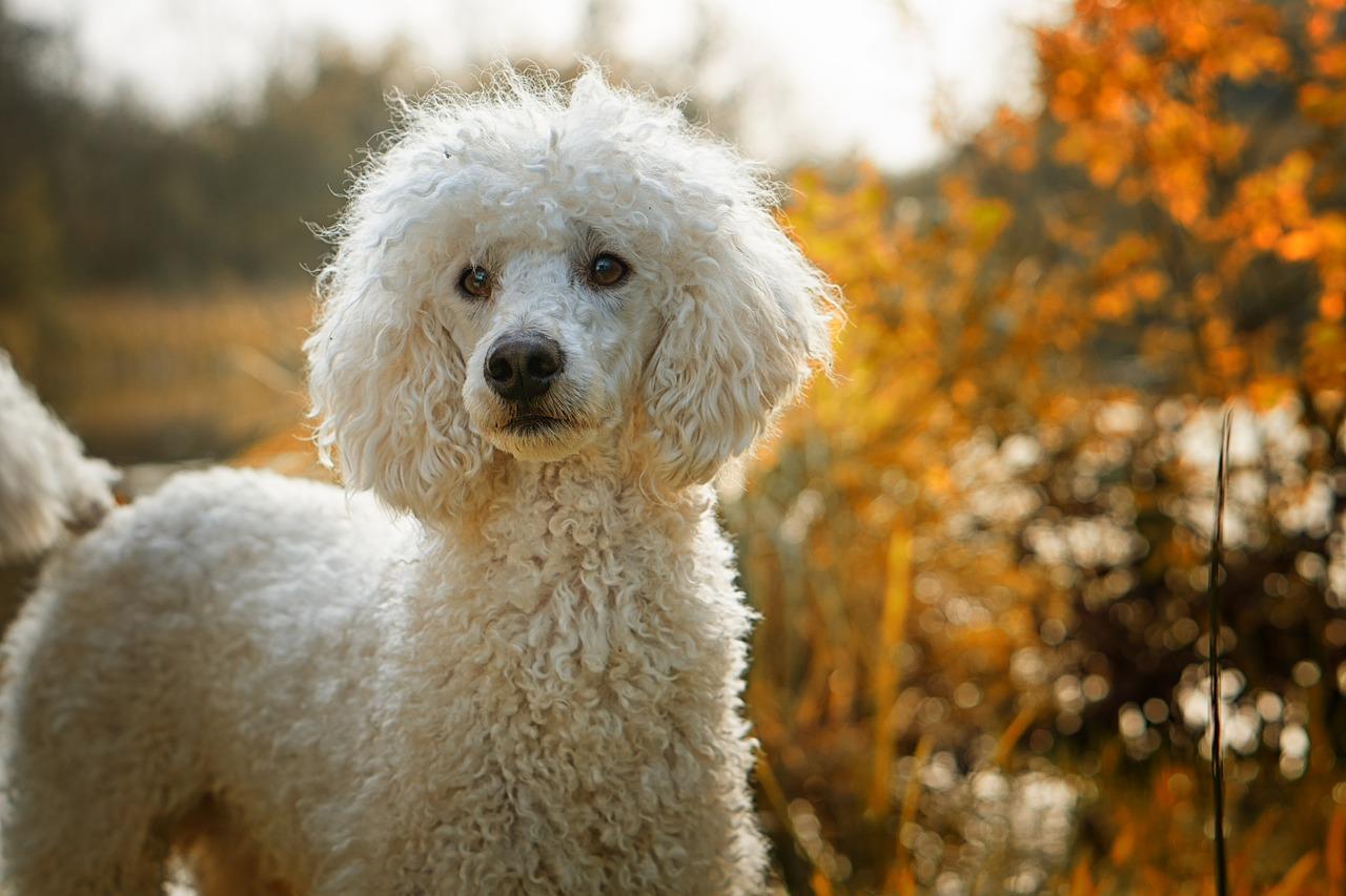 Poodle hypoallergenic dog