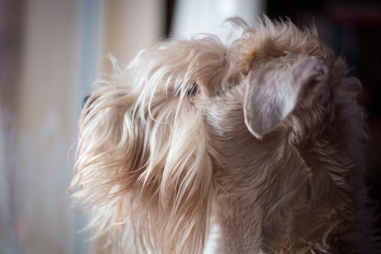 Soft-haired Irish Terrier Dog