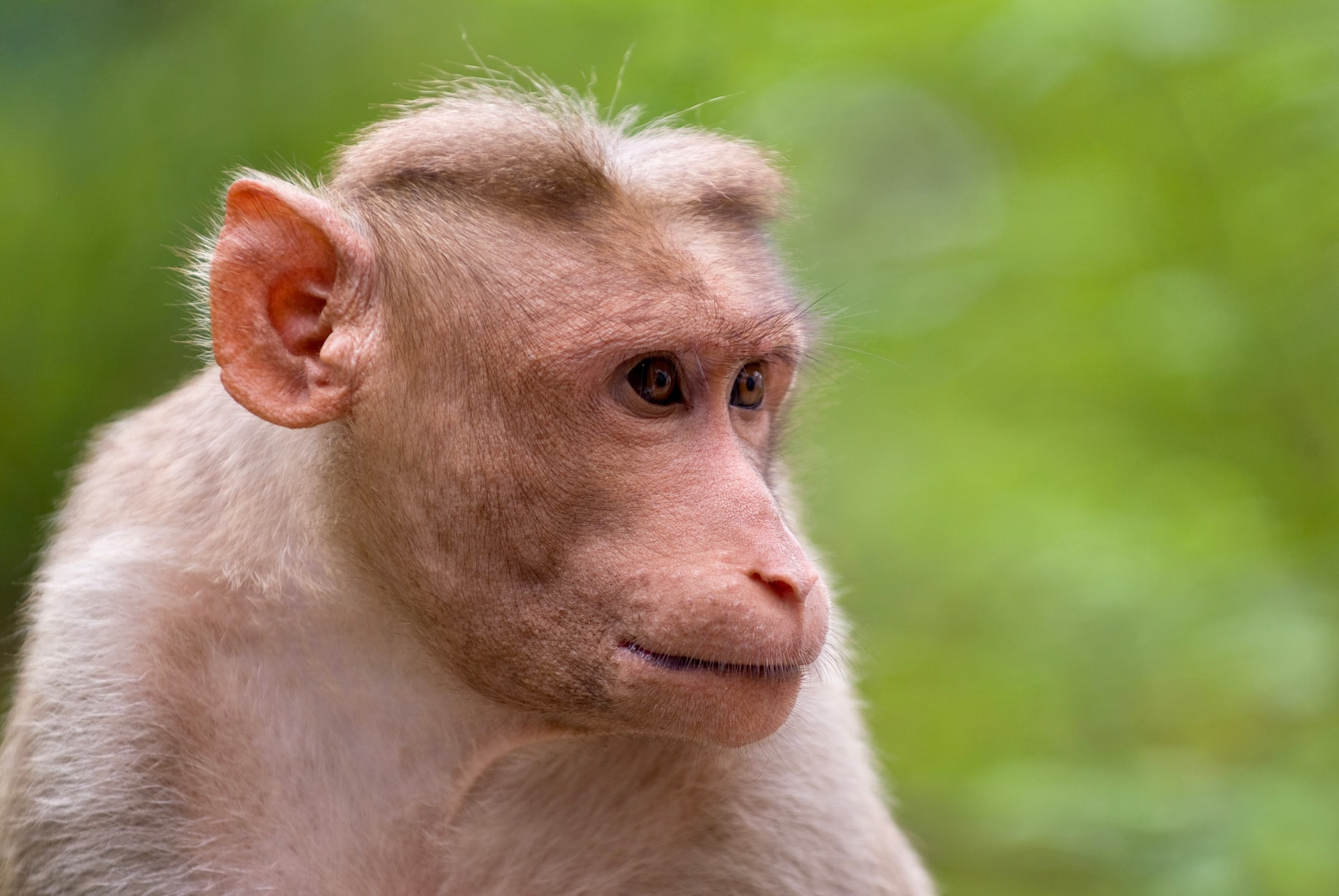 Monkey Destroys coconuts
