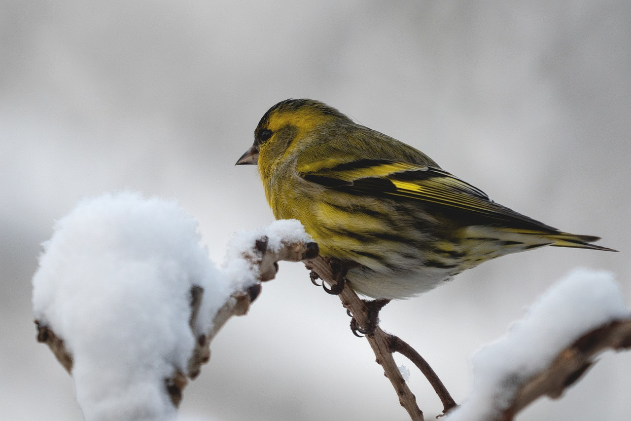 What does a Siskin bird look like