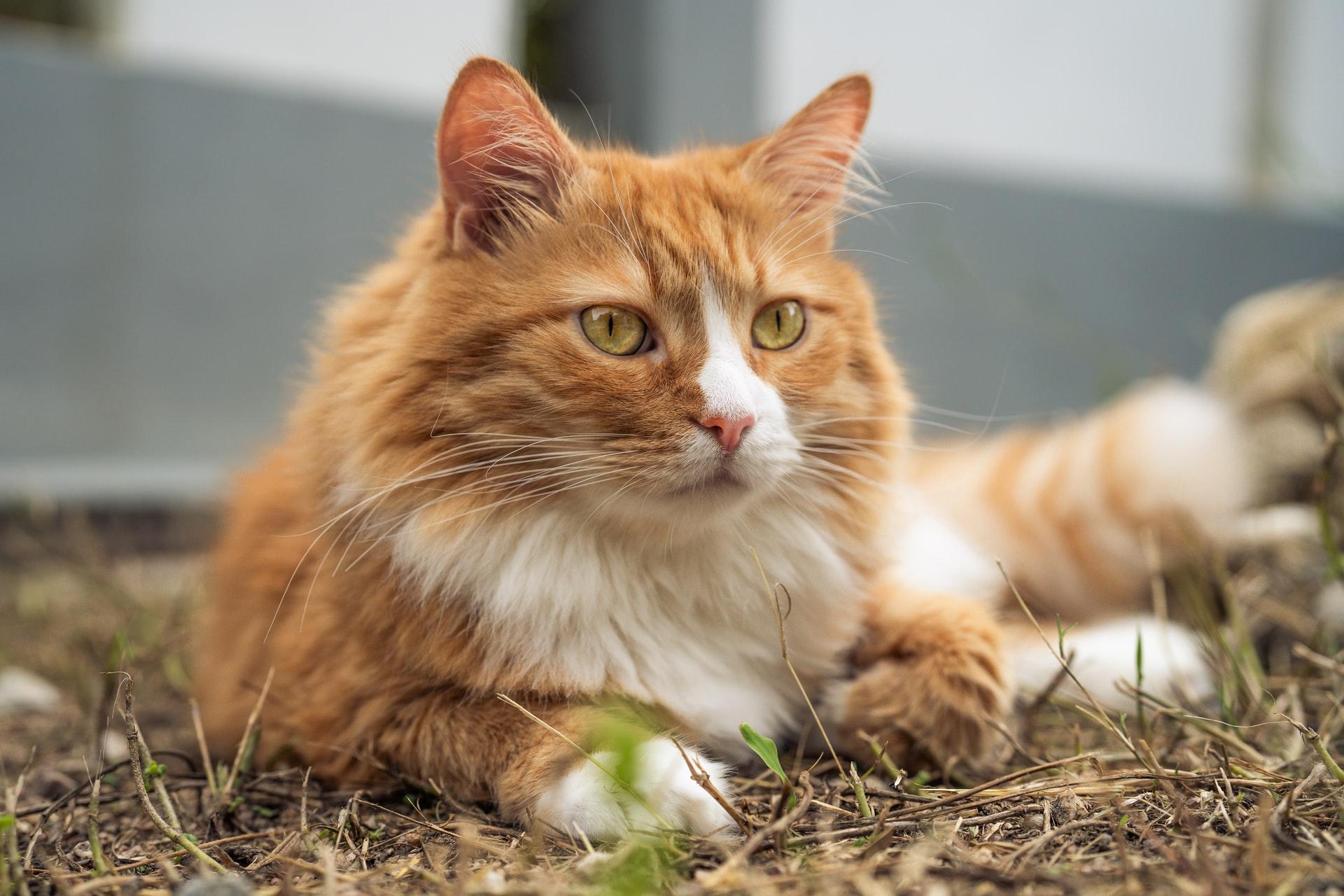 ginger cat adoption