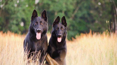 Black German Shepherd Breeds