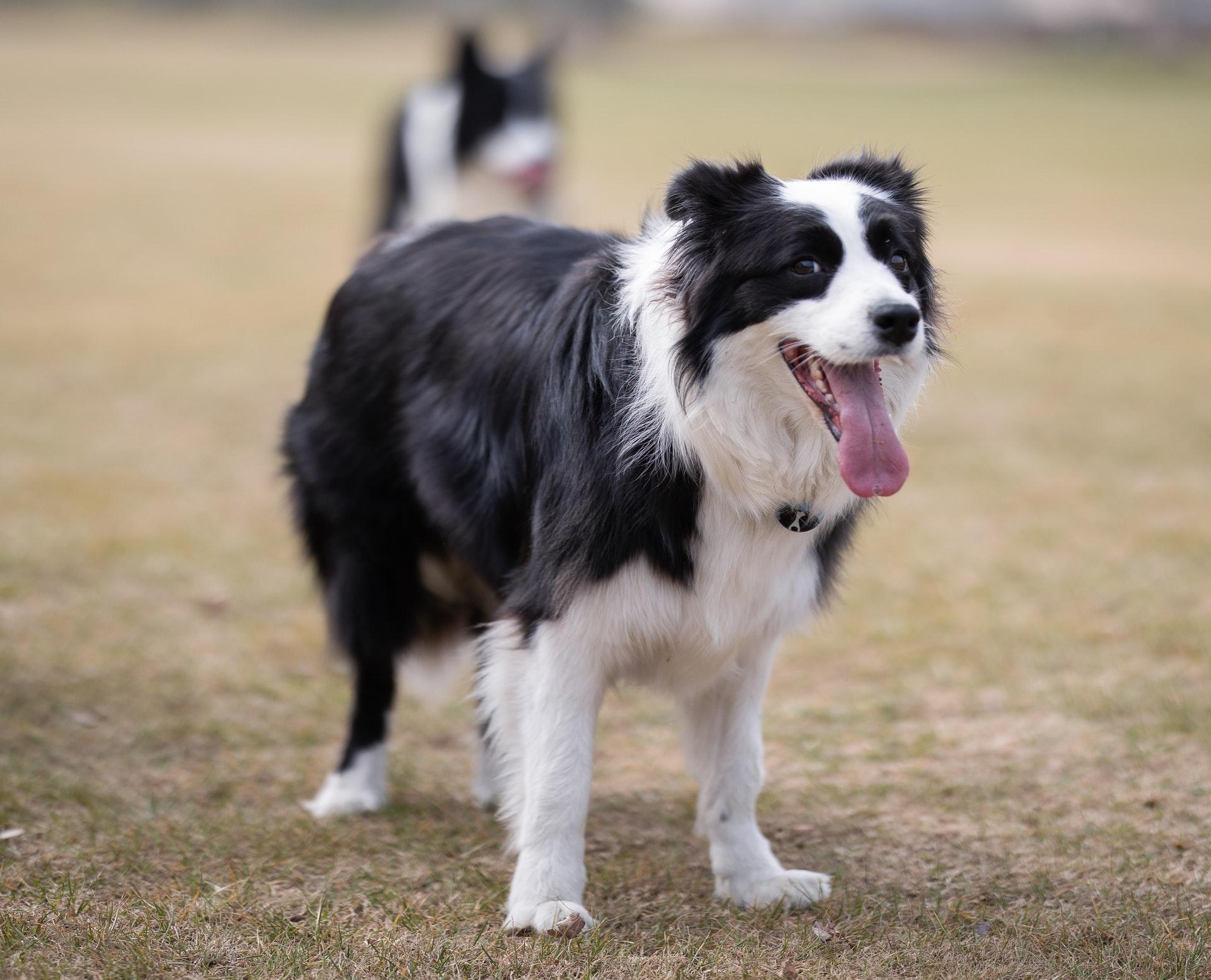 Border Collie Medium Sized Dog Breed