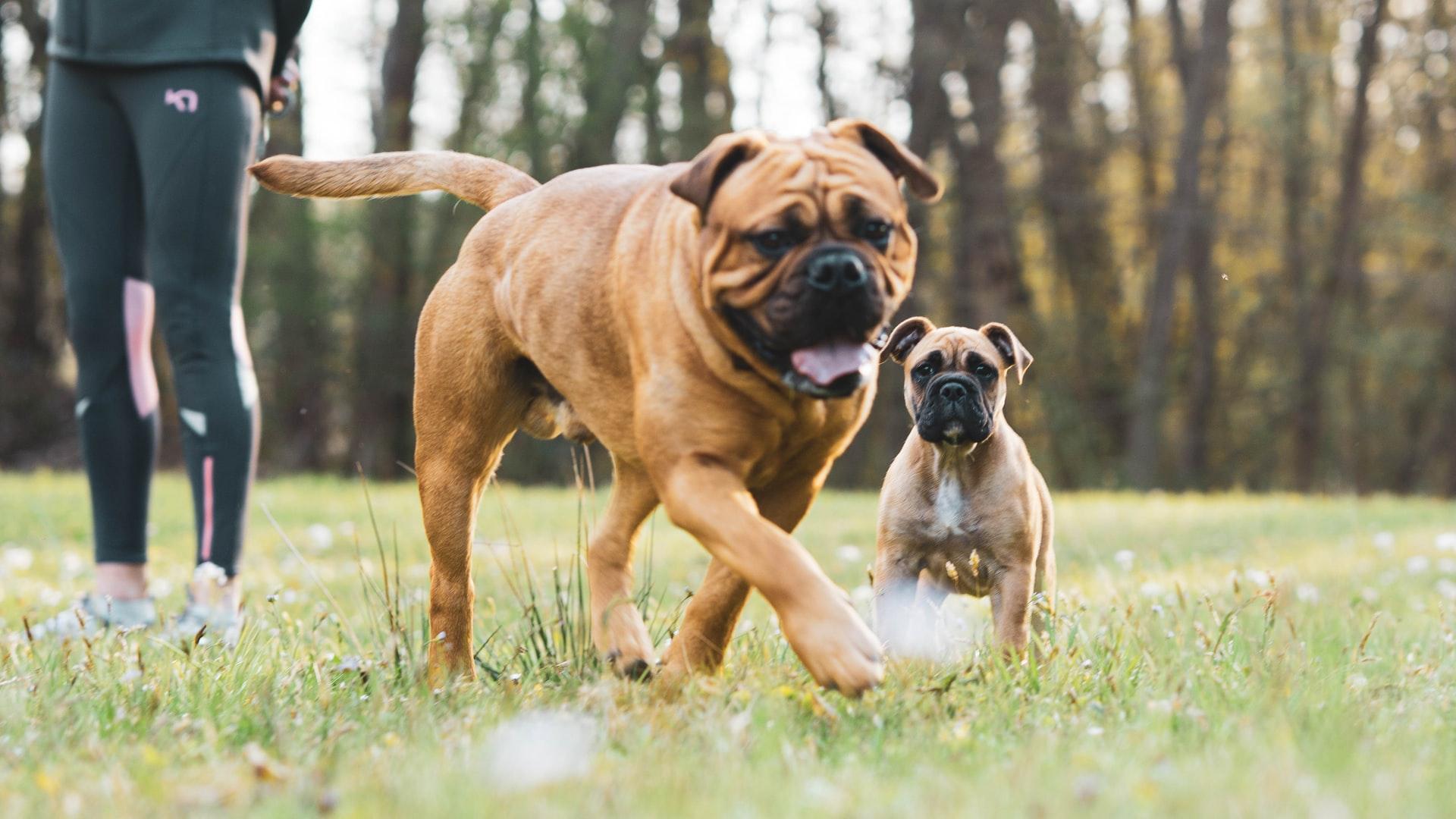 Boxer Dog Family Guard Dog