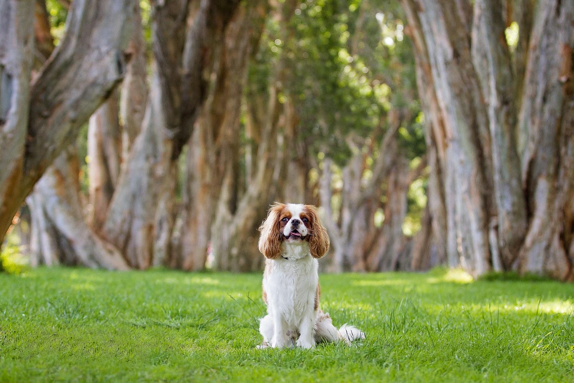 Breton Spaniel Medium Sized Dog Breed