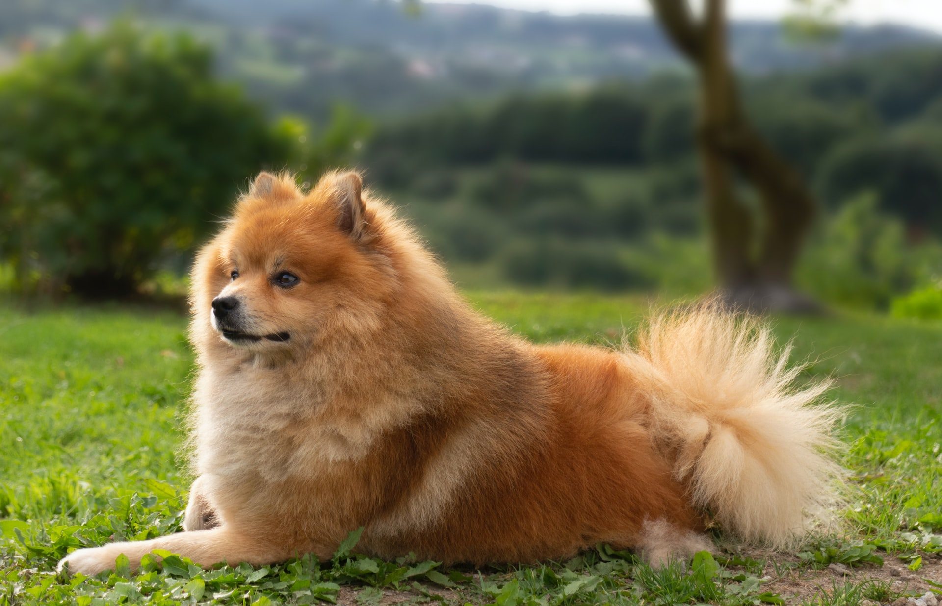 Chow-Chow Medium Sized Dog Breed