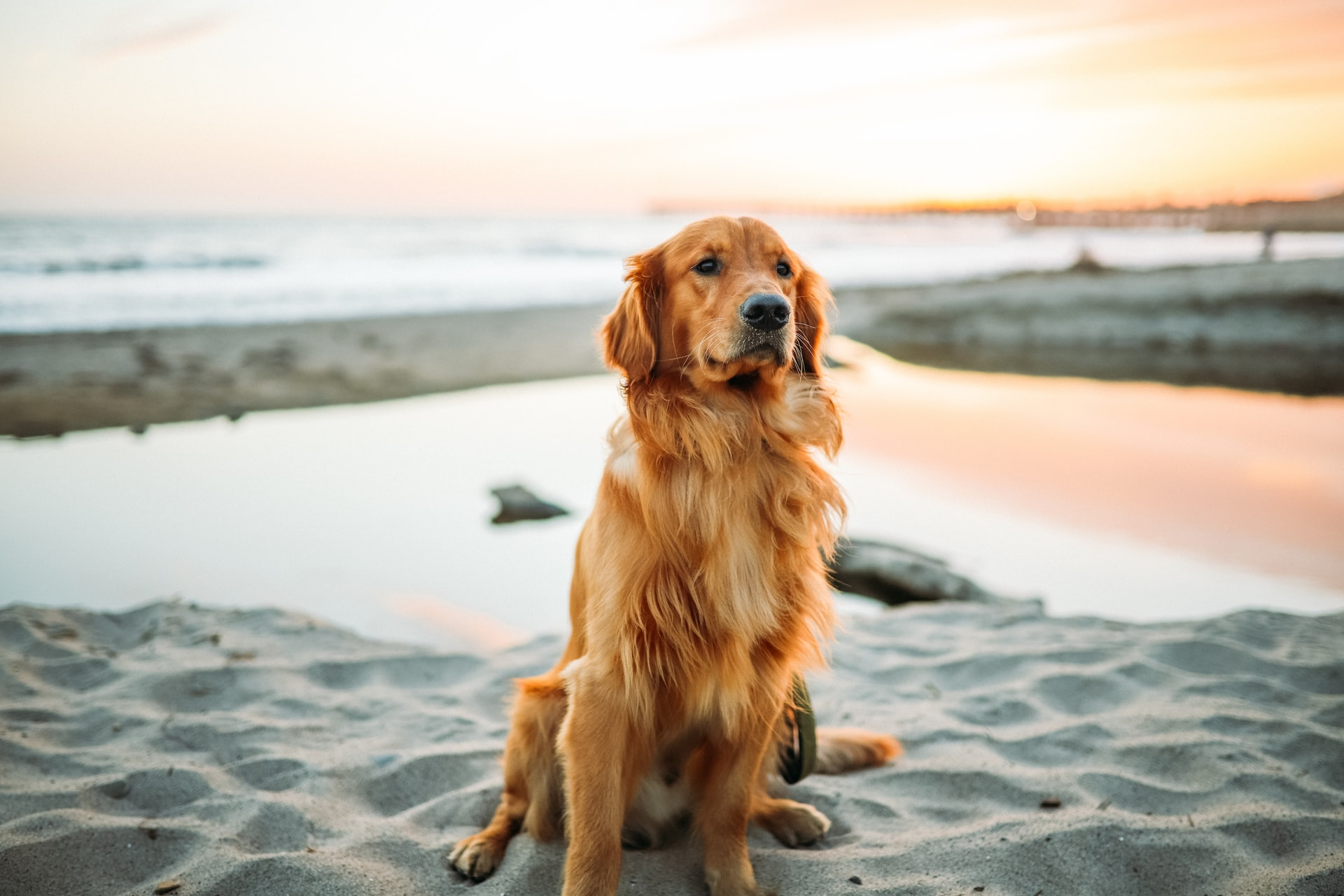 Golden Retriever Medium Sized Dog Breed