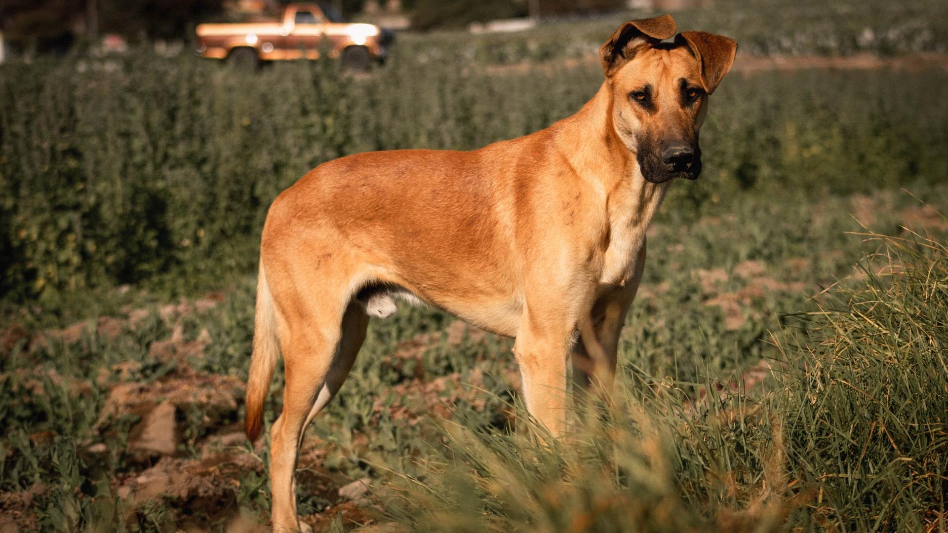 Great Dane Family Guard Dog