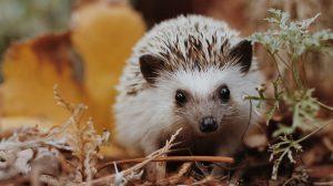 Hedgehog Found in Garden