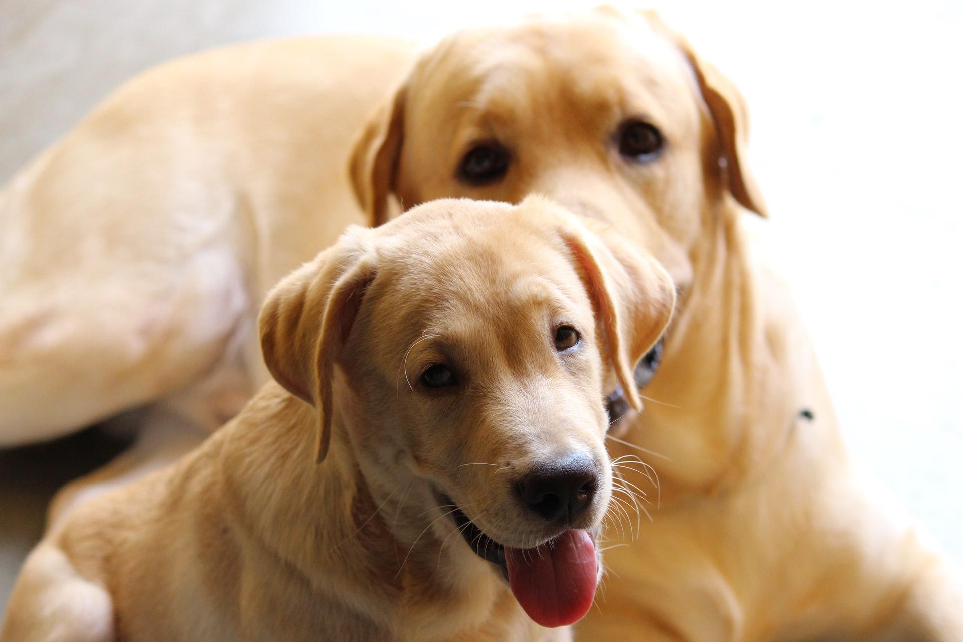 Labrador Medium Sized Dog BreedLabrador Medium Sized Dog Breed
