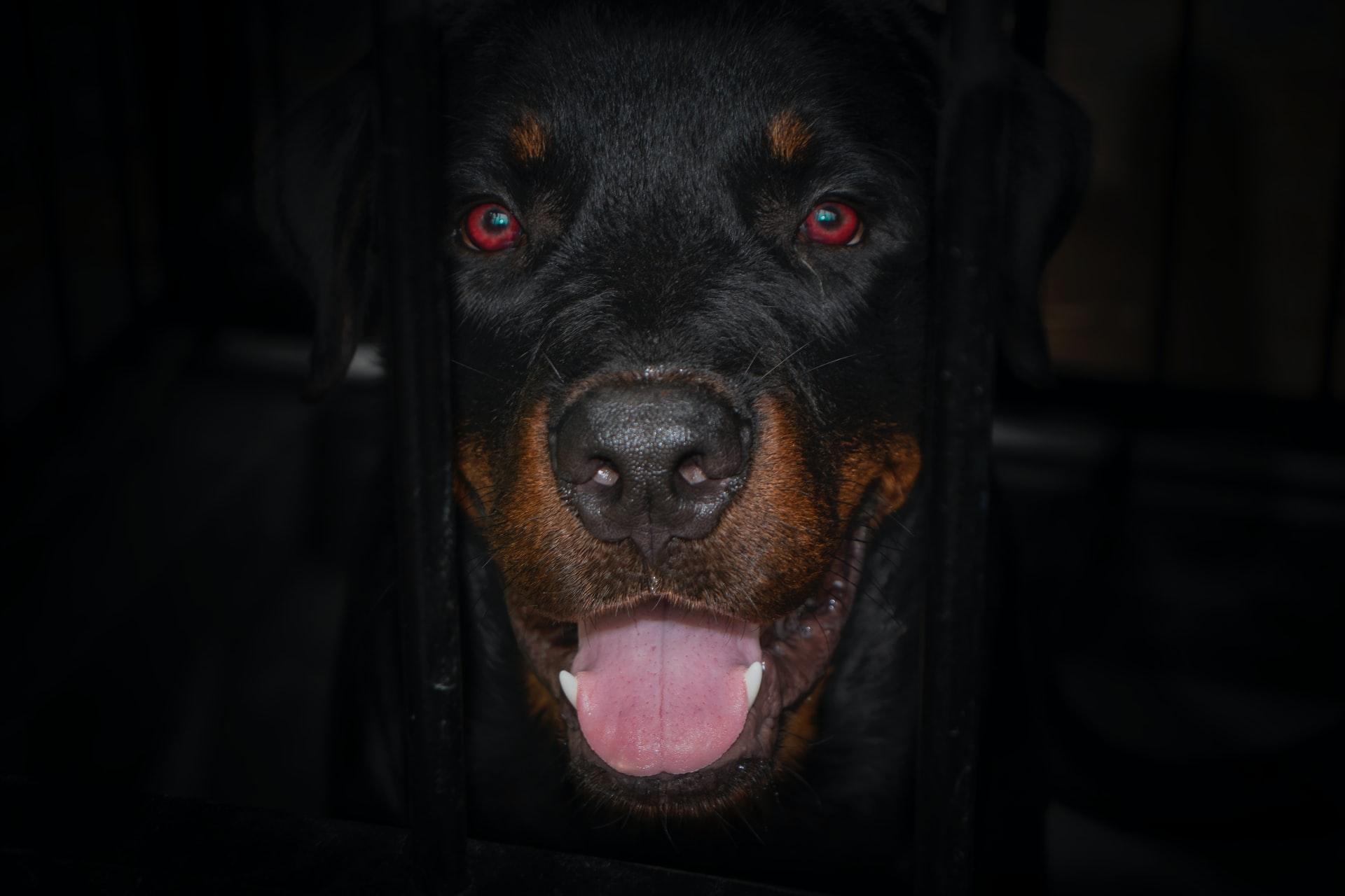 Rottweiler Family Guard Dog