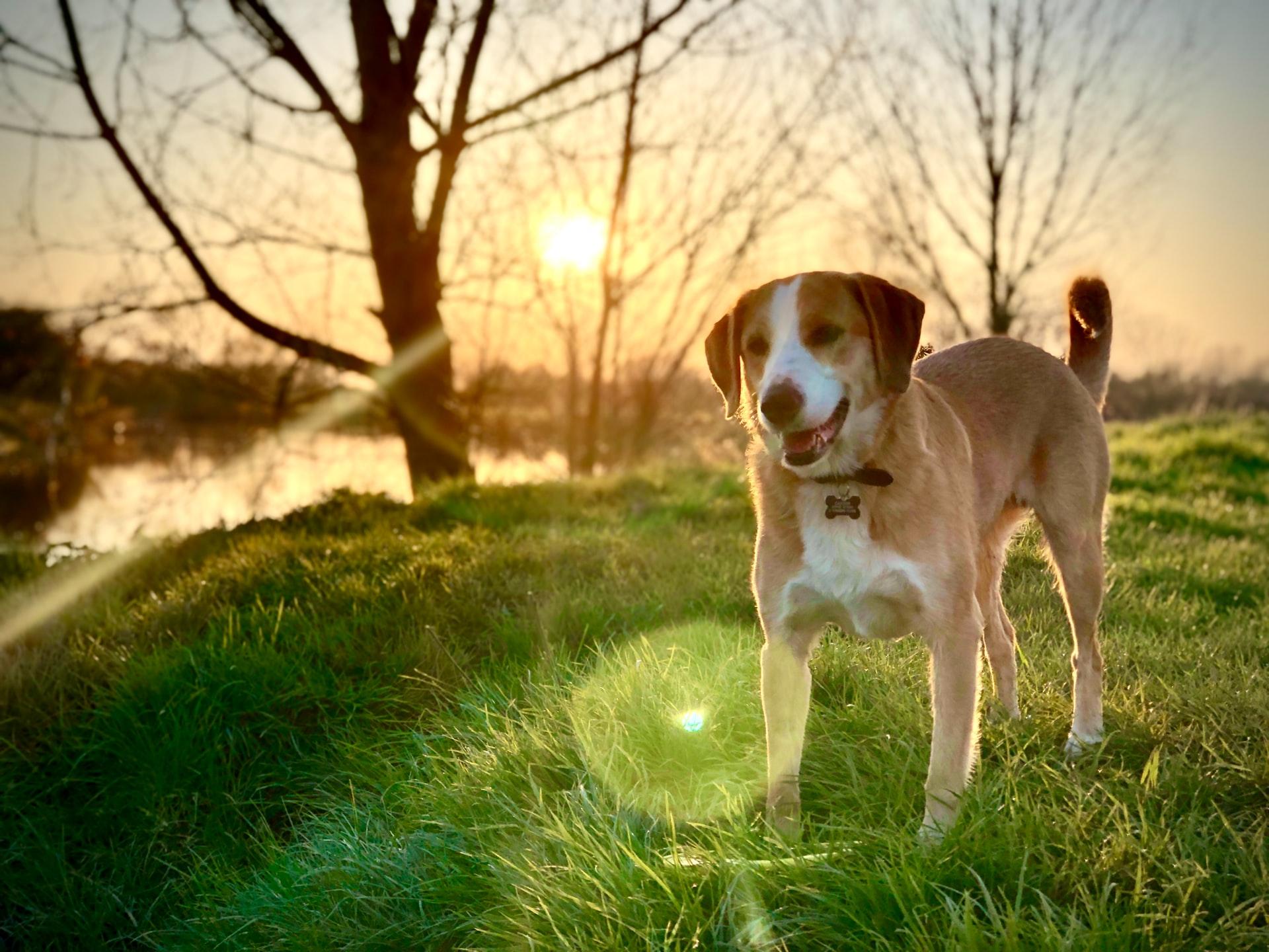 The Beagle Medium Sized Dog Breed