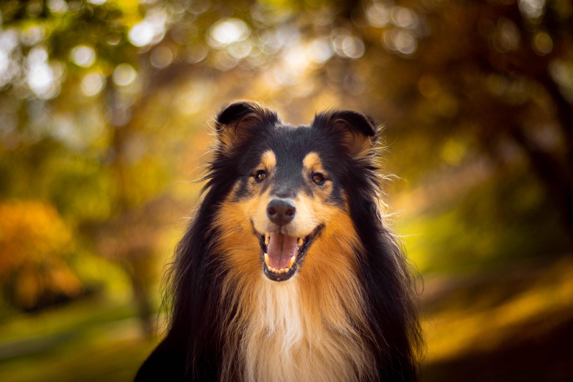 The Collie Medium Sized Dog Breed