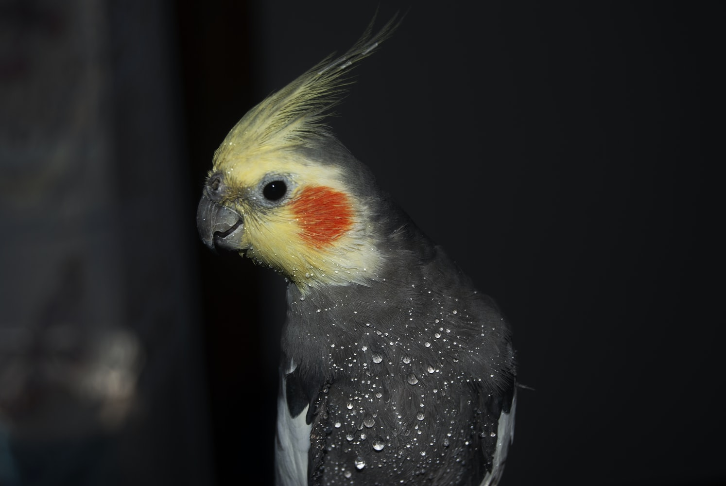 The Cockatiel domestic birds