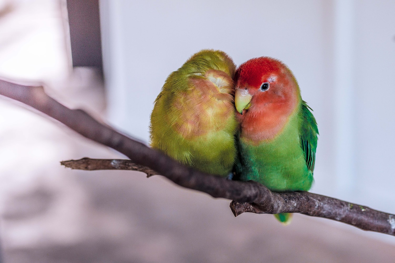 The Lovebird domestic birds