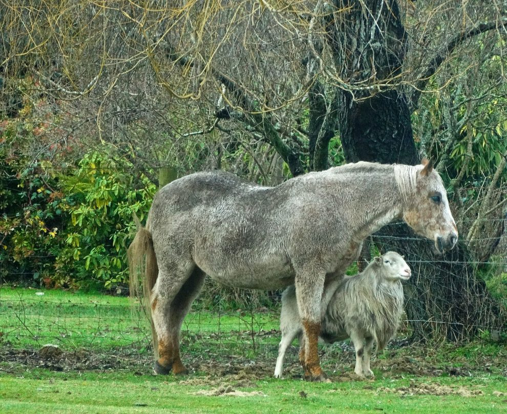 horse with sheep