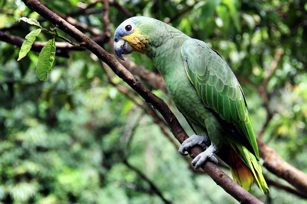 the amazon bird domestic bird