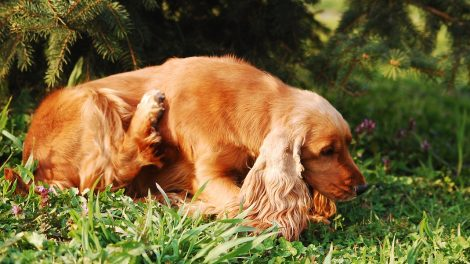what do fleas look like on dogs